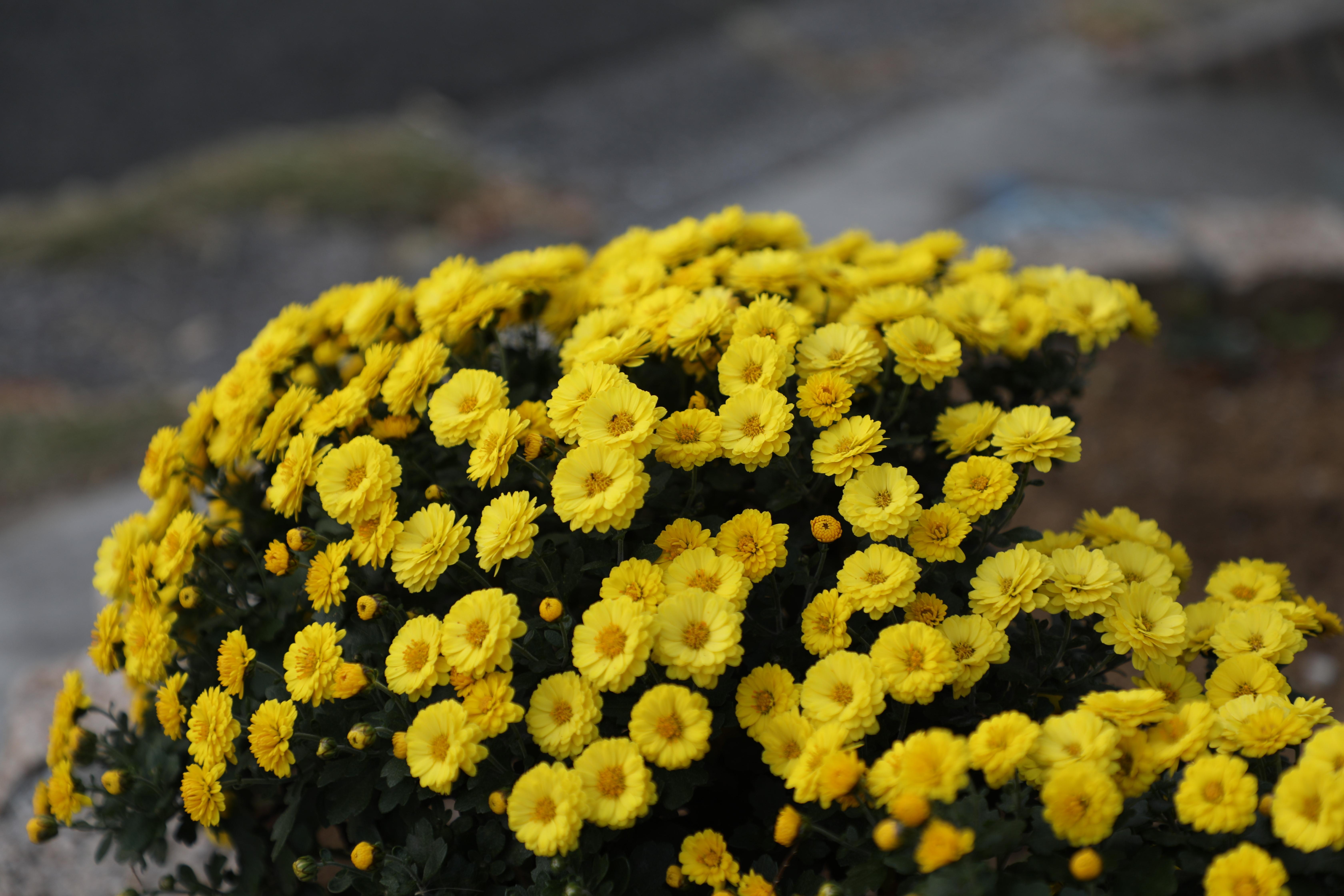 ca70mm黄色い花